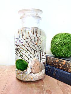 Marimo moss ball desk terrarium (aquarium) set up.