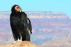 California condor, the largest terrestrial bird in North America, with a wingspan of about 9 feet! Due to habitat destruction, poaching and poisoning from lead and DDT, the population of condors plummeted during the 20th century until only 22 were left in the entire world. A massive conservation effort that included capturing all remaining condors and starting a captive breeding program has helped to bring their numbers back up to a little over 400, with about 234 birds living in the wild.