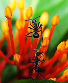 2 ants on Ixora buds, gorgeous colors! / 2 fourmis sur des boutons de fleurs, magnifiques couleurs!