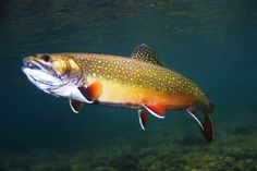 Brook Trout, Headwaters Deschutes River Oregon.