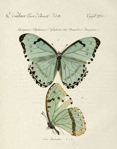 Shop Vintage Butterfly Poster created by KathiAnn. Butterfly Images, Vintage Butterfly, Butterfly Art, Butterfly Illustration, Nature Illustration, Botanical Illustration, Beautiful Butterflies, Botanical Prints, Vintage Prints