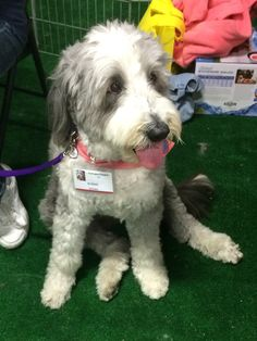 Cute bearded collie with puppy cut. PetExpo 2014, OC Fairgrounds