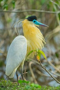 Photo: join https://plus.google.com/communities/114269659069080162704 The capped heron (Pilherodius pileatus) is a species of heron in the family Ardeidae. It is in the monotypic genus Pilherodius. It is found in Bolivia, Brazil, Colombia, Ecuador, French Guiana, Guyana, Panama, Paraguay, Peru, Suriname, and Venezuela. Its natural habitats are rivers, swamps, and freshwater lakes. #birds #birdphotography #wildlife #monty_k