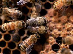 Las colmenas han proporcionado a los hombres miel y cera de abeja desde hace mucho tiempo. Este uso comercial ha desarrollado la industria de la apicultura, aunque muchas especies siguen viviendo en la naturaleza.  Las abejas son insectos sociales y colaboradores. Viven en las colmenas, donde existen tres castas.  Las únicas abejas que normalmente vemos son las obreras. Son hembras que no están desarrolladas sexualmente. Estas abejas buscan alimento (polen y néctar de las flores), construyen…