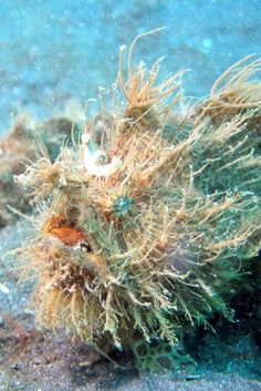Striated or Hairy Frogfish (Antennarius striatus). They're small fish (up to 22 cm) with voracious appetites even being known to eat their own kind. They can swallow fish their own size!