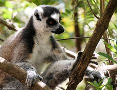 Picture of a ring-tailed lemur in Madagascar