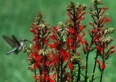 Cardinal flower - Google Search