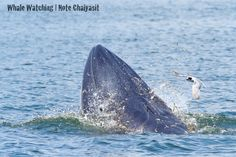 Bryde's whale feed on a wide variety of fish, planktonic crustaceans, and cephalopods. Bryde's whales use several feeding methods, including skimming the surface, lunging, and bubble nets.