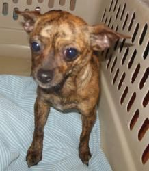 Lil Bit is an adoptable Chihuahua Dog in Middletown, NY. Currently with a foster in TN Lil Bit is the twin sister to Little Girl. She is a sweet but shy girl as well. Loves to cuddle. She is about 5-6...