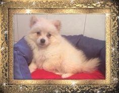 Cucciolo maschio Tre mesi Mantello champagne Contatto 392/9208064