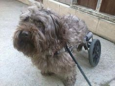 """It is unfathomable to me that THIS """"person"""" would surrender a special needs animal to the pound!!    Please Lord send an Angel for this soul ♥  HE HAS 1 HOUR - 9AM PST HE GOES TO SHELTER UNLESS SAVED    Special needs dog in wheelchair needs a place by 9am today or will be taken to the shelter to be euthanized. He is 2yrs old. I can physically go get the dog if someone can give him a home. Located: los angeles (south bay) area Contact: Audra Aldridge    rbbrat@hotmail.com or 424 241-7564"""
