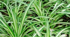 6 Stylish Houseplants That Are Safe For Cats And Dogs Long striped spider plant leaves 6 Stylish Hou Hanging Plants, Plants, Hanging Plants Diy, Covered Backyard, Plant Leaves, Potting Soil, Plant Shelves, Houseplants, Cat Safe Plants