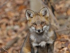 Red Fox by Brian Morg on 500px
