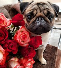 Flowers for you! #pug