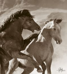 Photographs in this gallery are of various mustangs fighting.  All of these photographs are of mustangs in the Onaqui herd of wild horses in Utah's west desert.