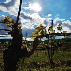 Wachstum. Sonne. Regen. . KÖRBERS-Weingartengeschichten: Neues treibt aus. . . . #koerbersheuriger #heuriger #koerber #weingut #weingarten #weinberg #wineyard #farmerlife #platzfürneues #landwirtschaft #wachstum #weinreben #weinstock #neuesleben #naturschauspiel #sonneundwolken #lichtundschatten #lichtspiel #eigenproduktion #eigenanbau #thermenregion #perchtoldsdorferheide #bezirkmödling #genießedasleben #sonne #wolken #regen #weingartengeschichten Utility Pole, Instagram, Light And Shadow, Clouds, Sun, Vineyard Vines, Vine Yard, Agriculture