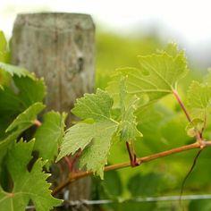 #OkanaganLens #Okanagan #OkanaganLight #rural #countryside #country #farm #nature #wineries #grapeharvest #winemaking #vineyards #vines #exploreBC #explorearmstrong