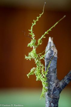 Nature never fails to amaze me. A stick insect, known as the Mossy Walking-stick (Trychopeplus laciniatus).