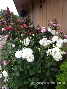 the 10 biggest mistakes people make when pruning roses, gardening, landscape, New Buds a Plenty via Gaga s Garden