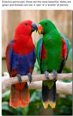 A pair of Eclectus parrots