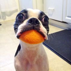 http://bostonterrier.dogfriendzy.com/post/1998797/if-you-were-ever-a-kid-once-you-probably-did-this
