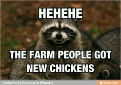 Lol story of my chickens