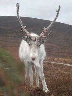 White reindeer on the Cairngorms