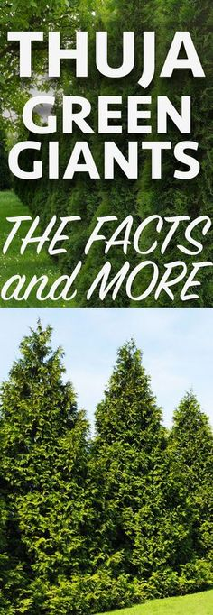 Thuja Green Giants Are Fast Growing Evergreens That Perfect For Living Privacy Fences Learn