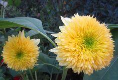 Выращивание цветов отличается от выращивания овощей. Приемы те же: заботливый уход, поливы, подкормки, прополка. А вот цели другие. У огородника – чтобы было много и вкусно, а у цветовода – долго и красиво. Декоративные подсолнухи сажают на открытых солнечных участках, защищенных  от ветра с рыхлой почвой.