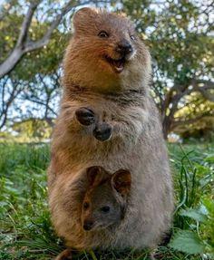 Happy Animals, Cute Baby Animals, Animals And Pets, Funny Animals, Quokka Baby, Destination Voyage, Wombat, Tier Fotos, Cute Creatures