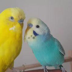 Funny Birds, Cute Birds, Pretty Birds, Beautiful Birds, Parakeet Colors, Blue Parakeet, Cute Baby Animals, Funny Animals, Dog Corner