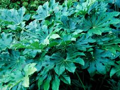 Fatsia japonica - great for a tropical look.  Plus a good plant for dry shade!