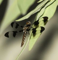 Picture of dragonfly in my lilac bush.