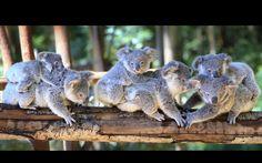 Koala joeys (L-R) Jarrah, Little Caesar, Ariel, Delilah, Wigsy and Ivy pose for a photo at the Wildlife HQ in QueenslandPicture: Megan Slade/Newspix/REX Shutterstock