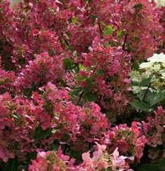 Hydrangea paniculata 'Mega Mindy' Hydrangea Paniculata, Flowers, Plants, Plant, Royal Icing Flowers, Flower, Florals, Floral, Planets