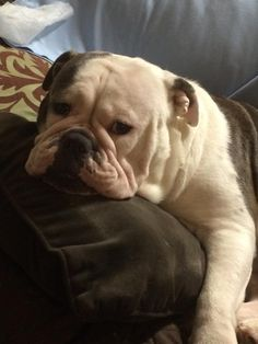 "❤ ""I ate a frog"" ~ No worries, Morty's mom post he's just fine. ❤ Posted on Baggy Bulldogs"