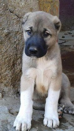 Tornjak puppy! (Croatian mountain sheepdog) Cute dogs