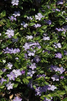 Click to view full-size photo of Common Periwinkle (Vinca minor) at Millcreek Nursery Ltd