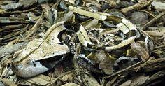 A víbora do Gabão, encontrada na África, possui manchas pretas que refletem pouca luz