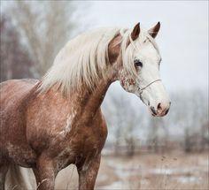 """scarlettjane22:  """" Hidalgo  Shagya horse  by Nikolaeva Olesya """""""