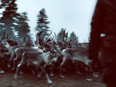 ohmygoodness...beautiful reindeer!