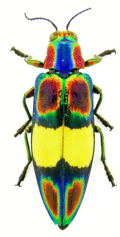 Chrysochroa ephippigera The Effective Pictures We Offer You About Arthropods activity A quality pict Beetle Insect, Beetle Bug, Insect Art, Cool Insects, Bugs And Insects, Insect Photos, Especie Animal, Cool Bugs, A Bug's Life