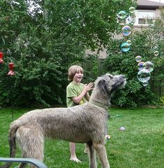 This was one of those special moments in life.  My son and my Irish Wolfhound enjoying the pleasure of soap bubbles.  Janey Mac had never seen one and her expression is priceless.  My son was thrilled to have created magic for her.