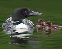 loons make such a cool/creepy call! I can't wait to hear them in person