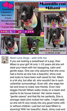 RETURNED 8/2/16 PET CONFL!! SAFE❤️❤️ 5/8/16 Manhattan Center MILANI – A1071517 FEMALE, BLACK / WHITE, PIT BULL MIX, 1 yr, 6 mos STRAY – STRAY WAIT, NO HOLD Reason STRAY Intake condition EXAM REQ Intake Date 04/26/2016 http://nycdogs.urgentpodr.org/milani-a1071517/
