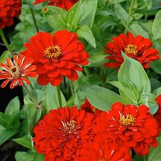 ***Zinnia 'Will Rogers' - ordered from baker creek. These are my absolute favorite!!  This might become my signature flower!!!!