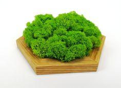 Przedstawiamy nasze dębowe panele z mchu -chrobotka reniferowego. Gęsta pokrywa mchu, gruba na kilka centymetrów osadzona została w dębowej ramie wykończonej olejem. Panele można zastosować jako wzmocnienie kompozycji z drewnianych heksagonów lub jako samodzielny obraz. Plastic Canvas, Teak, Herbs, Herb, Medicinal Plants