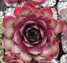 Types Of Succulents, Cacti And Succulents, Planting Succulents, Cactus Plants, Planting Flowers, Sempervivum, Echeveria, Succulent Gardening, Container Gardening