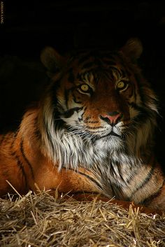 Tiger in the Shadow
