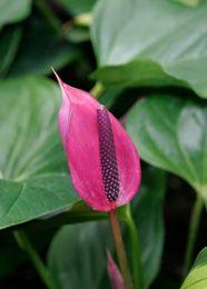 Lanthurium (Anthurium andreanum) fait partie des plantes les plus efficaces pour absorber lammoniac. Lidéal est donc de la placer dans une salle de bains ou dans une cuisine où sont utilisés les produits dentretien qui contiennent ce composé chimique.